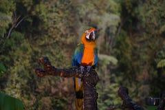 Le perroquet de Coloreful a appelé des arums se reposant sur une branche Image libre de droits