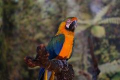 Le perroquet de Coloreful a appelé des arums se reposant sur une branche Images stock