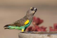 Le perroquet de Meyer photo libre de droits