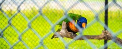 Le perroquet emprisonné dans une cage Photos stock
