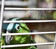 Le perroquet exotique d'animal familier est ferm? ? clef derri?re la porte images stock