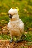 Le perroquet fâché est un cacatoès Image stock