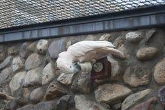 Le perroquet grignote sur une vidéo surveillance Images libres de droits