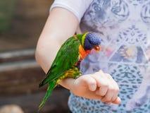 Le perroquet Lori - Loriinae - se repose sur le bras et mange une pomme à t Photos libres de droits