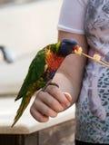 Le perroquet Lori - Loriinae - se repose sur le bras et mange une pomme chez Gan Guru Zoo dans les kibboutz Nir David en Israël Photos stock