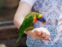 Le perroquet Lori - Loriinae - se repose sur le bras et mange une pomme chez Gan Guru Zoo dans les kibboutz Nir David en Israël Images libres de droits