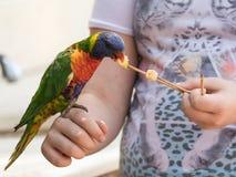 Le perroquet Lori - Loriinae - se repose sur le bras et mange une pomme chez Gan Guru Zoo dans les kibboutz Nir David en Israël Images stock