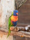 Le perroquet Lori - Loriinae - se repose sur une branche dans une volière pour des perroquets chez Gan Guru Zoo dans les kibboutz Images stock