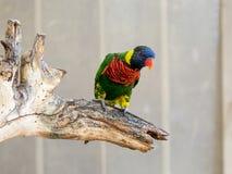 Le perroquet Lori - Loriinae - se repose sur une branche dans une volière pour des perroquets chez Gan Guru Zoo dans les kibboutz Photographie stock libre de droits