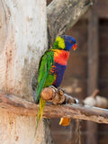 Le perroquet Lori - Loriinae - se repose sur une branche dans une volière pour des perroquets chez Gan Guru Zoo dans les kibboutz Images libres de droits