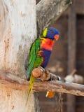 Le perroquet Lori - Loriinae - se repose sur une branche dans une volière pour des perroquets chez Gan Guru Zoo dans les kibboutz Image stock