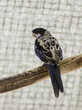 Le perroquet Lori - Loriinae - se repose sur une branche dans une volière pour des perroquets chez Gan Guru Zoo dans les kibboutz Image libre de droits