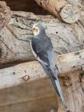 Le perroquet Lori - Loriinae - se repose sur une branche dans une volière pour des perroquets chez Gan Guru Zoo dans les kibboutz Photo stock