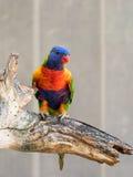 Le perroquet Lori - Loriinae - se repose sur une branche dans une volière pour des perroquets chez Gan Guru Zoo dans les kibboutz Photos stock