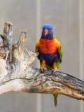 Le perroquet Lori - Loriinae - se repose sur une branche dans une volière pour le parr Image libre de droits