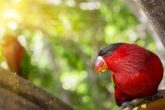Le perroquet lumineux alimente de la cuvette avec des graines en parc de Loro (Loro Photo libre de droits
