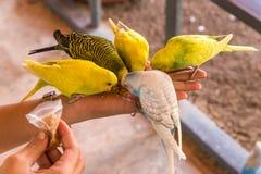 Le perroquet mange des nourritures sur la main de personnes Photos libres de droits