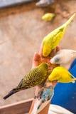 Le perroquet mange des nourritures sur la main de personnes Images libres de droits
