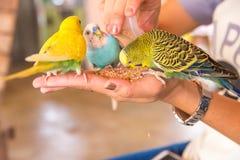 Le perroquet mange des nourritures sur la main de personnes Images stock