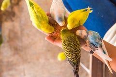 Le perroquet mange des nourritures sur la main de personnes Photos stock