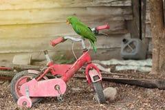 Le perroquet masculin d'Eclectus était perché sur les vieux enfants de vélo image stock