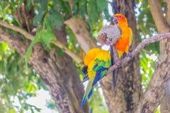 Le perroquet mignon de conure de perruche du soleil ou de soleil mangent des graines de fleur du soleil Il est scientifique appel Photo stock