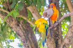 Le perroquet mignon de conure de perruche du soleil ou de soleil mangent des graines de fleur du soleil Il est scientifique appel Image libre de droits