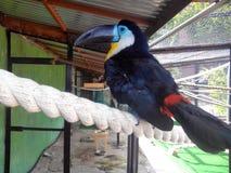 Le perroquet nettoie les plumes Images libres de droits