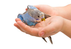Le perroquet ondulé Photographie stock libre de droits