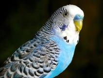 Le perroquet ondulé bleu. Photographie stock libre de droits