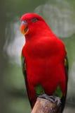 Le perroquet rouge photographie stock libre de droits