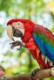 Le perroquet rouge mange l'écrou image stock