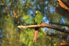 Le perroquet vert vibrant étant perché sur la branche d'arbre à la lumière du soleil, Foz font Iguacu, Brésil, Amérique du Sud image stock