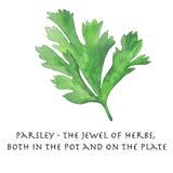 Le persil est le bijou des herbes Photographie stock