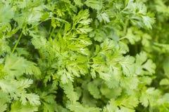 Le persil frais part, persil vert, cultivant l'usine dans le jardin, dehors, les herbes naturelles, fond de nourriture Photo libre de droits