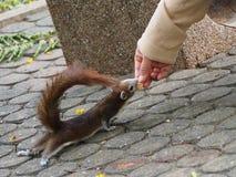 Le petit écureuil a obtenu alimentant par un gentil peuple Images stock