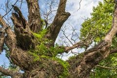 Le petit arbre de Fern On Trunk Of Big en parc historique de KamphaengPhet images libres de droits