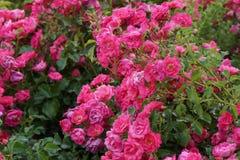 Le petit arbuste décore de petites fleurs roses de fleurs Photo stock