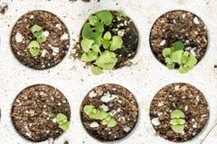 Le petit basilic de bébé plante l'élevage dans le jardin de pépinière Images stock
