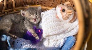 Le petit bonbon mignon à chaton dort dans un panier avec le tricotage et le MI Photo libre de droits