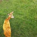 Le petit cerf commun regarde de retour effrayant Images stock