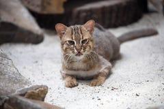 Le petit chat Rouillé-repéré, rubiginosus de Prionailurus est très rare photographie stock libre de droits