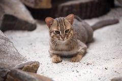 Le petit chat Rouillé-repéré, rubiginosus de Prionailurus est très rare photo libre de droits