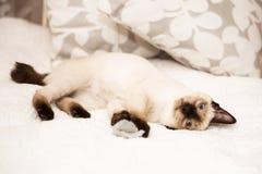 Le petit chat se trouve sur le lit posant pour l'appareil-photo photographie stock libre de droits