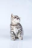 Le petit chaton de la Grande-Bretagne photo stock