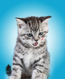 Le petit chaton de la Grande-Bretagne photos stock