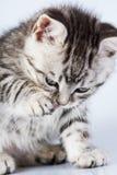 Le petit chaton de la Grande-Bretagne image libre de droits