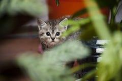 Le petit chaton gris regarde hors des buissons photo stock
