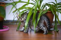 Le petit chaton gris regarde hors des buissons photographie stock libre de droits