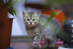 Le petit chaton gris regarde hors des buissons photo libre de droits